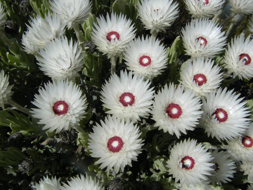 Syncarpha_vestita_flowers.JPG