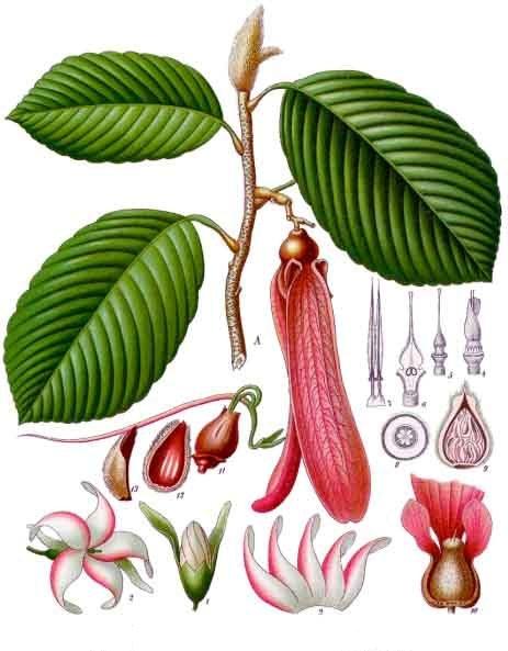 Dipterocarpus_retusus_-_Köhler–s_Medizinal-Pflanzen-054.jpg