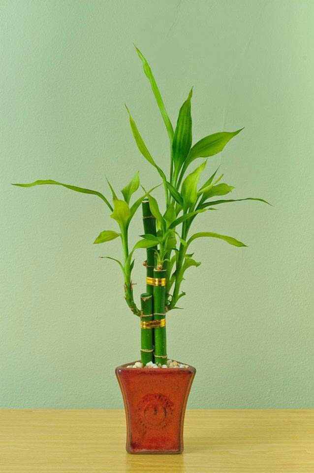 This Is Not The Bamboo You Are Looking For In Defense Of Plants