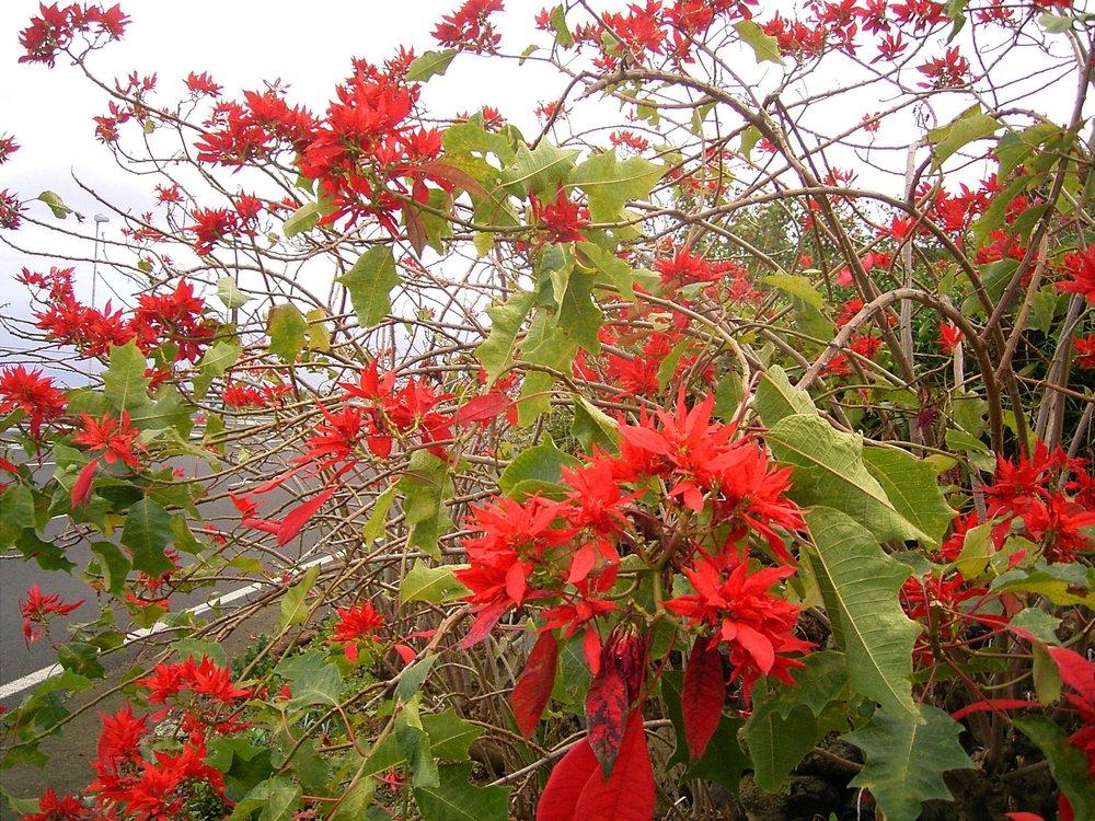 Euphorbia_pulcherrima_(Barlovento)_07.jpg