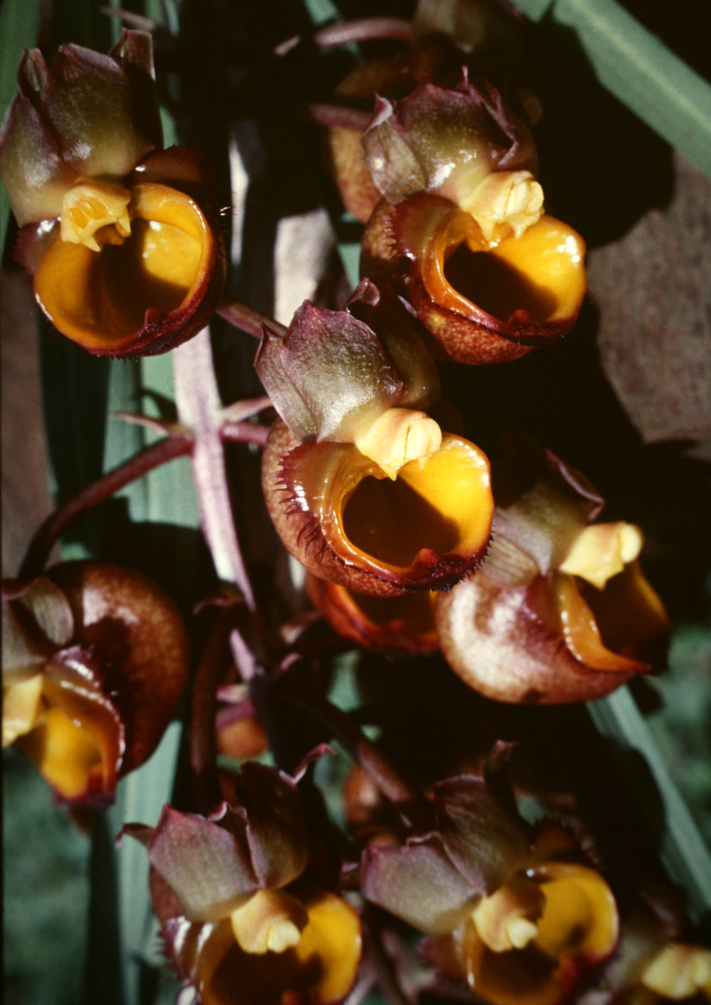 Catasetum longifolium