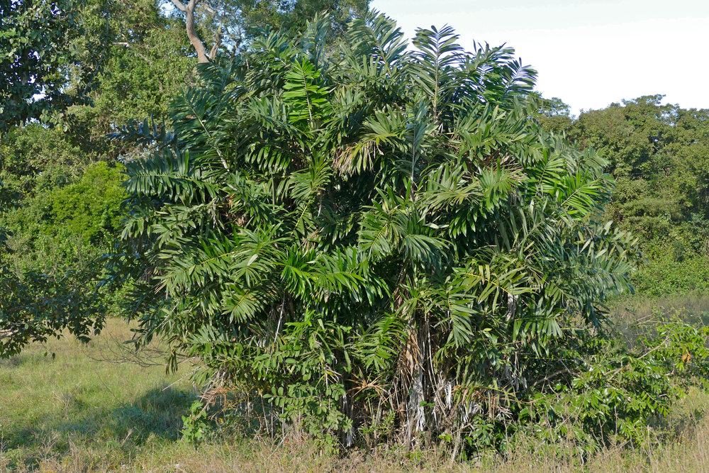 A beautiful tucum palm in the dry season.