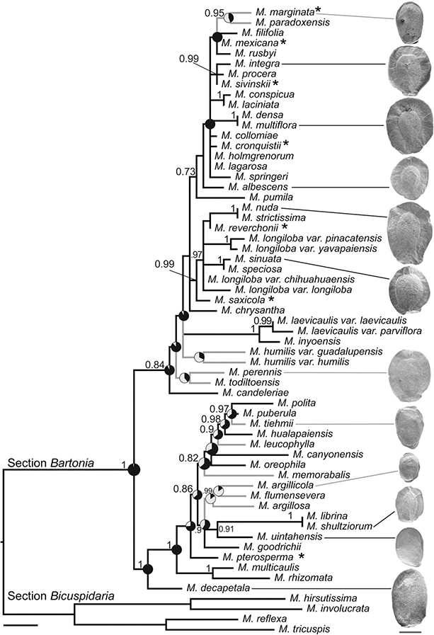 Mentzelia  phylogeny showing reduction in seed wings.