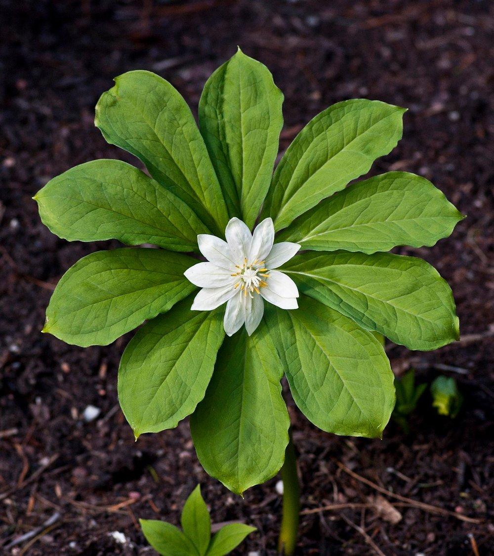 Canopy plant ( Paris japonica )