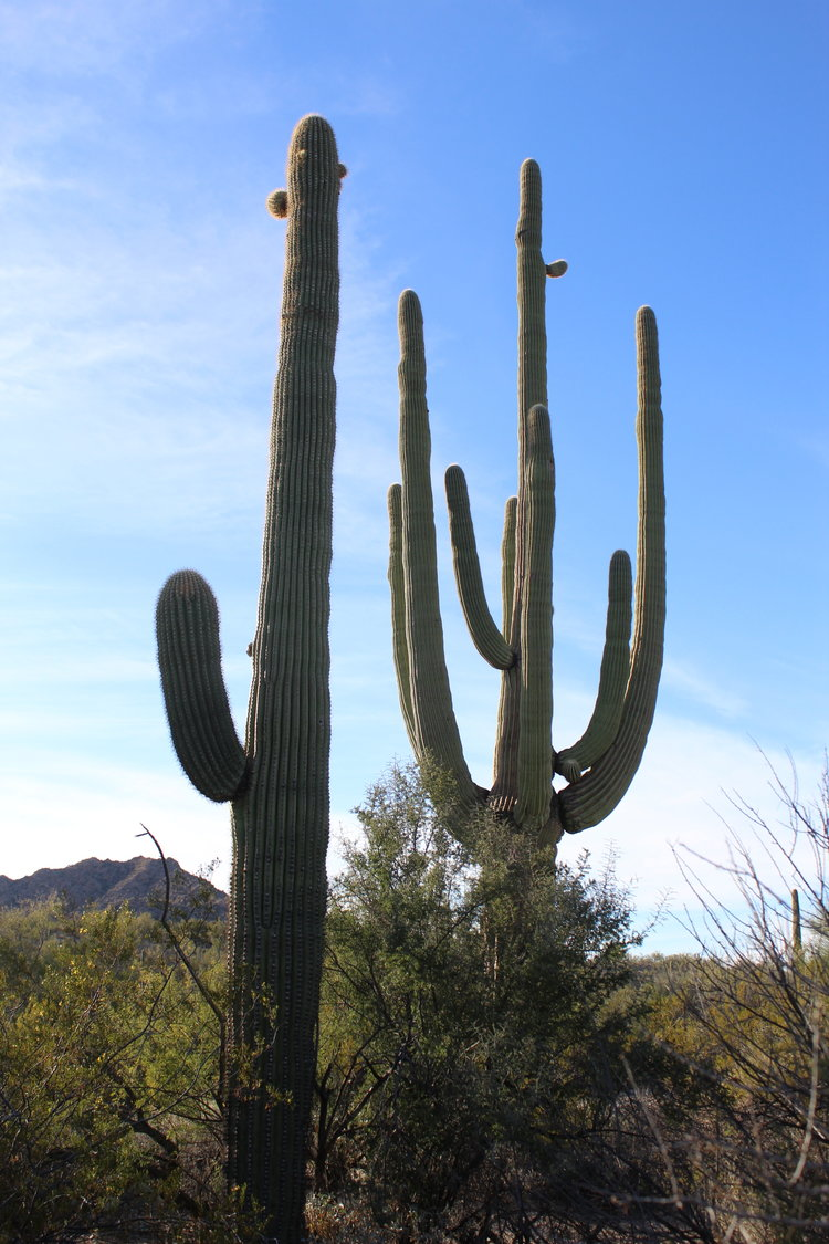 the mighty saguaro cactus in defense of plants