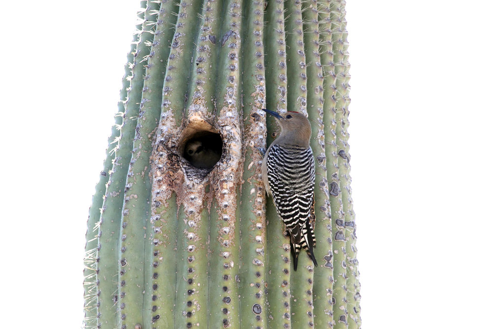 Gila woodpecker with its nesting hole.