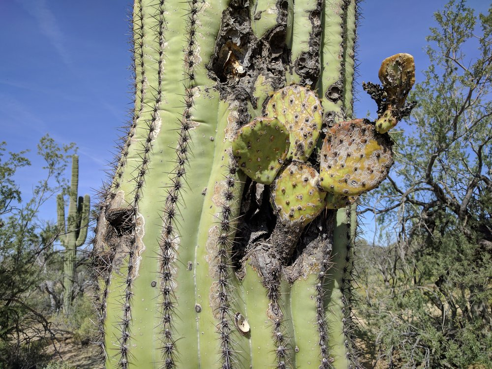 On rare occasions, woodpecker holes can even become home to other cacti!