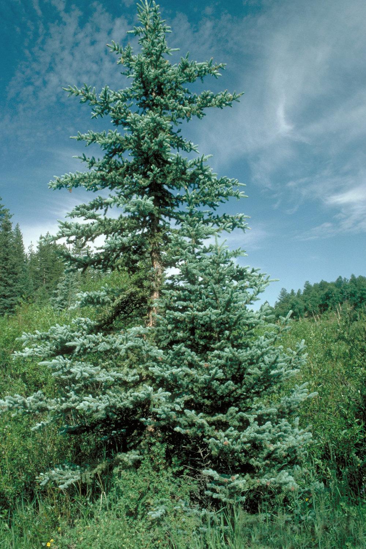 Picea_pungens_USDA3.jpg