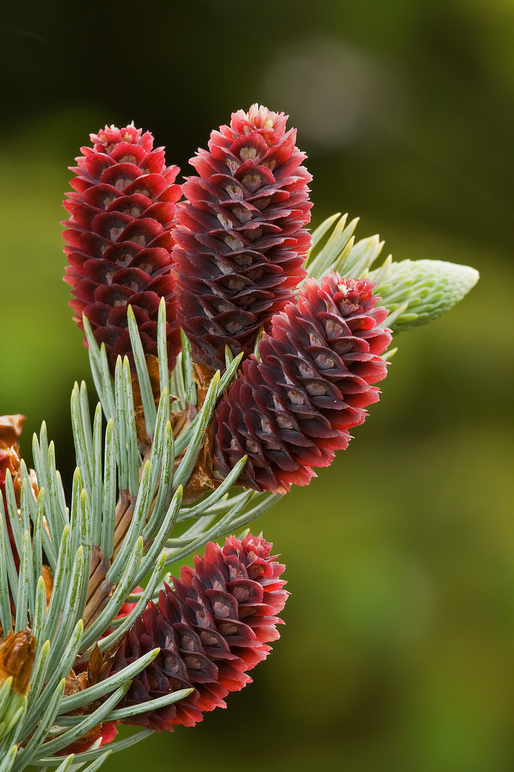 Male cones are short-lived but quite attractive.