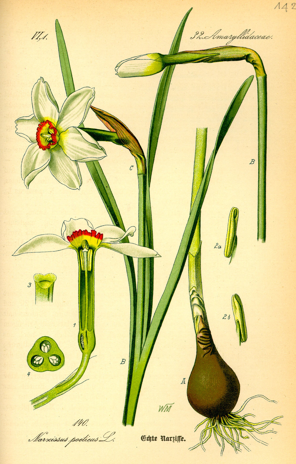 Illustration_Narcissus_poeticus0.jpg
