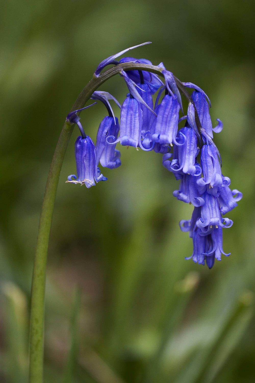 Hyacinthoides_non-scripta_(Common_Bluebell).jpg