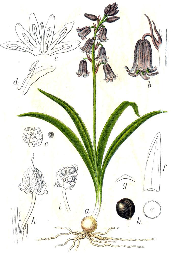 Hyacinthoides_non-scripta_Sturm39.jpg