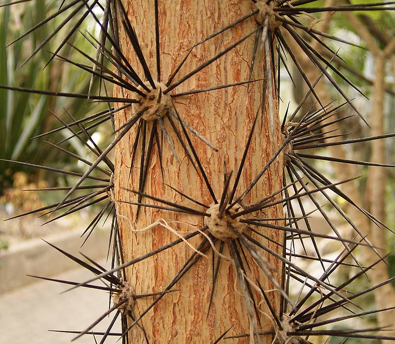 Pereskia spines are produced from areoles in typical cactus fashion.