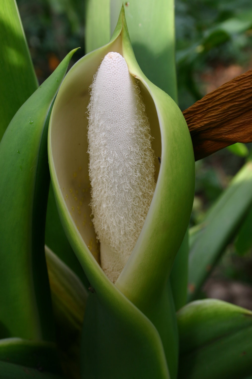 The inflorescence of  Philodendron bipinnatifidum  can reach temps as high as 115 °F (46 °C)