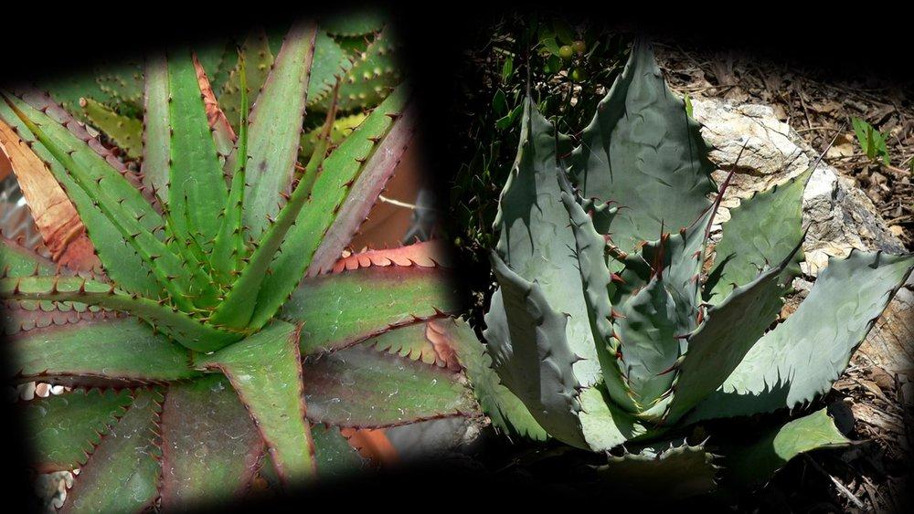 Aloe vs agave.jpg