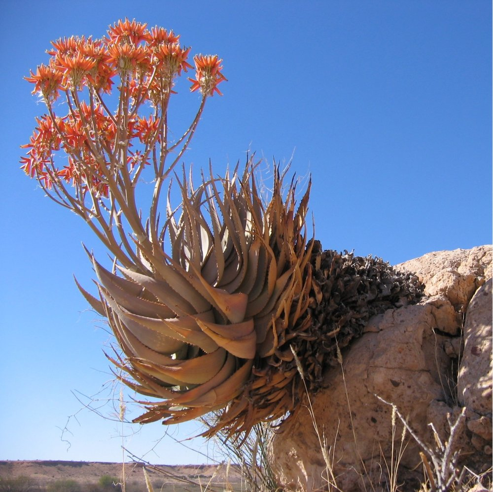 Aloe hereroensis in situ