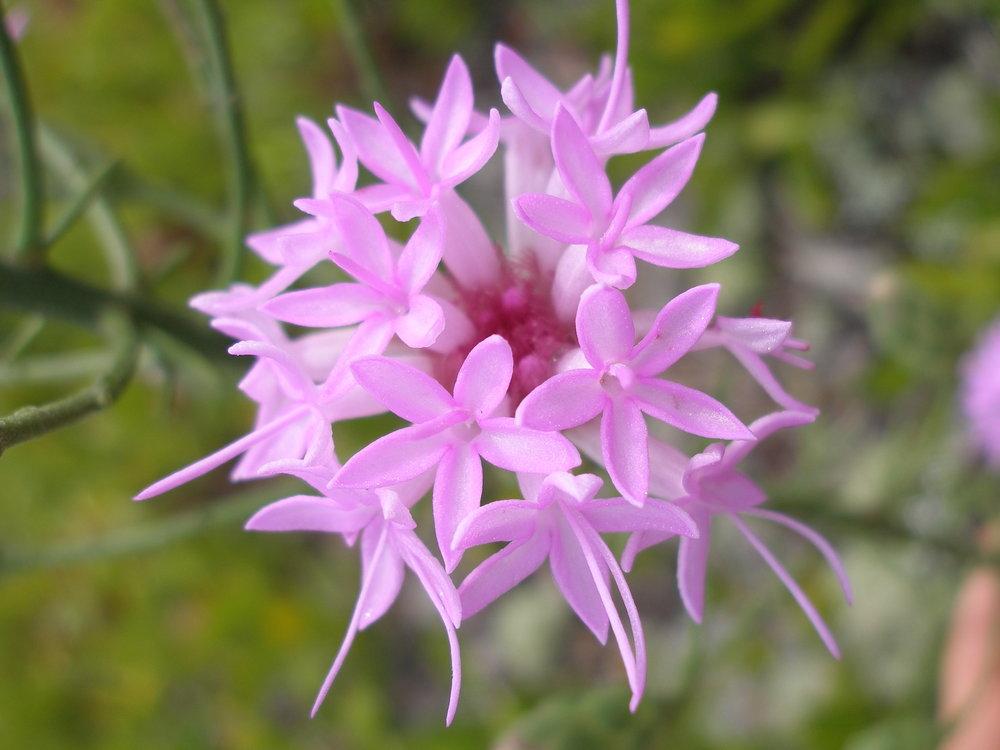 Scrub blazing star ( Liatris ohlingerae )