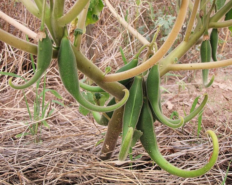 Proboscidea_parviflora_-_fruits.jpg