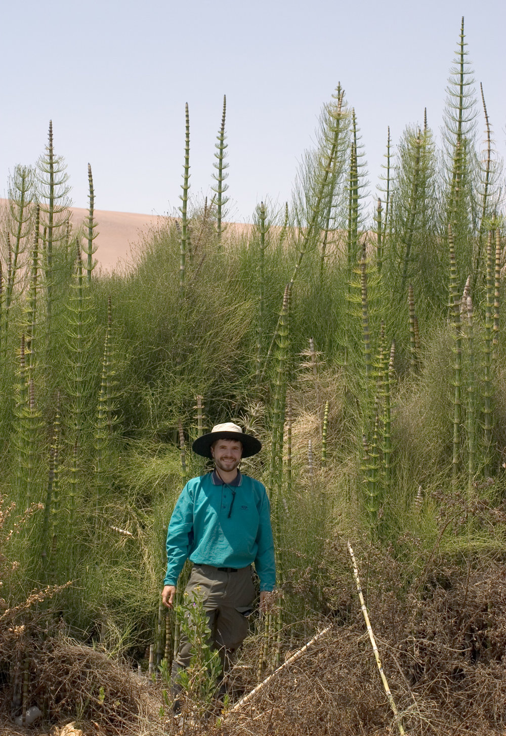 Equisetum giganteum (Chad Husby for scale.)