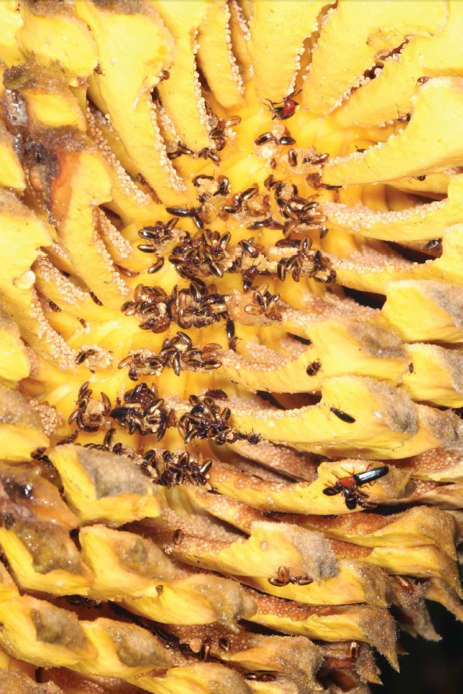 Cycadophila yunnanensis ,  C. nigra , and other beetles on a cone of  Cycas  sp.