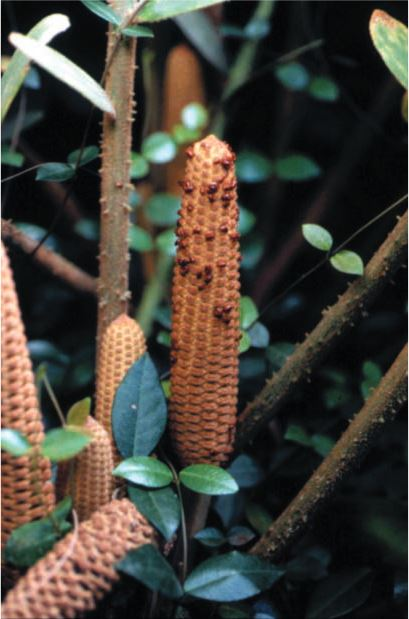 Male cone of  Zamia furfuracea  with a mating (lek) assembly of  Rhopalotria mollis  weevils.