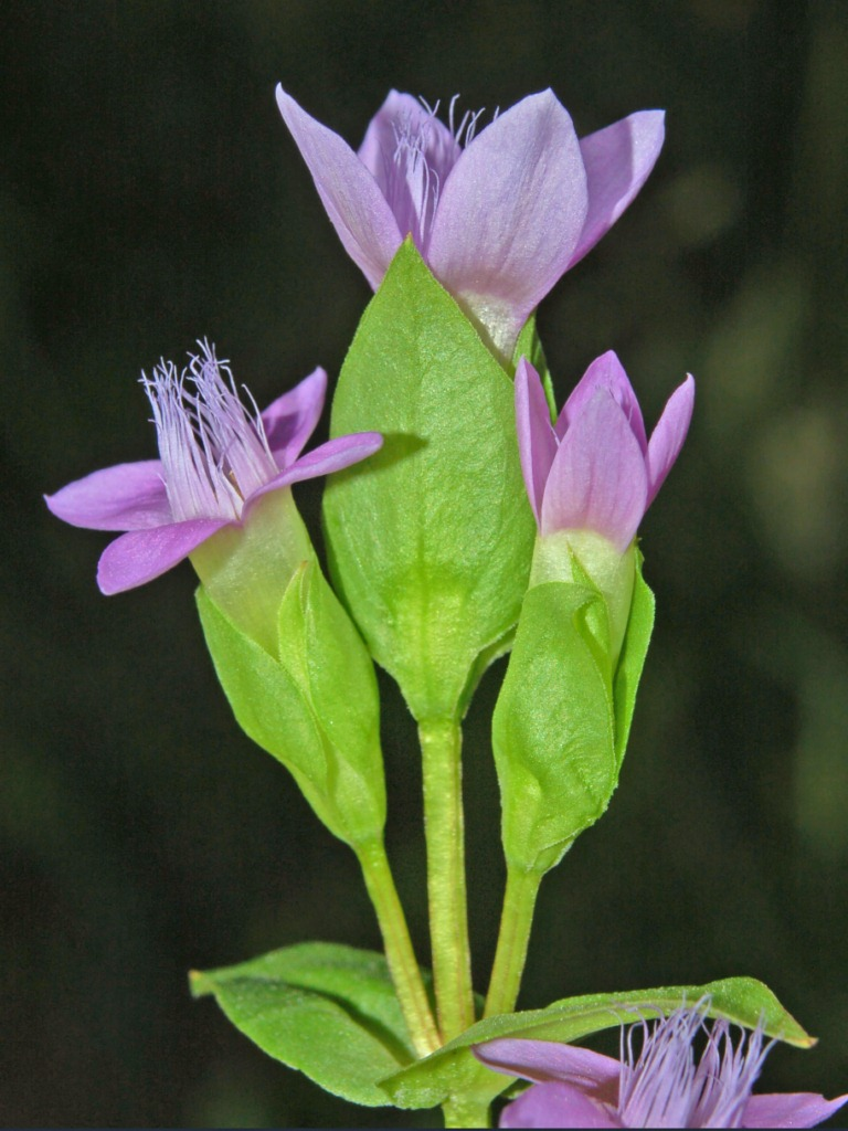 Gentianaceae_-_Gentianella_campestris-6.JPG
