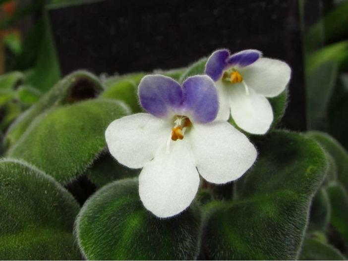 Saintpaulia goetzeana