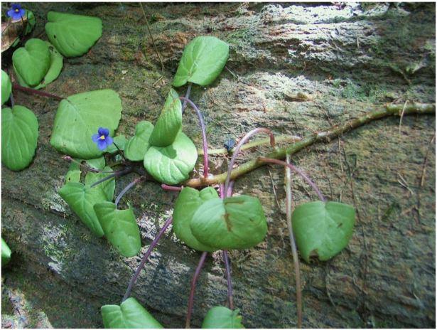 Saintpaulia ionantha  subsp.  grotei in situ.