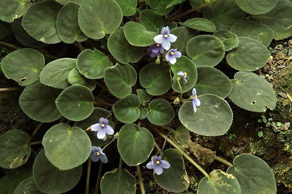 Saintpaulia intermedia