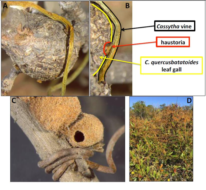 Figure S2. (A)  Cassytha filiformis  vine attaching haustoria to a leaf gall induced by the wasp  Callirhytis quercusbatatoides  on the stem of their host plant,  Quercus geminata . (B) Labeled graphic of insect gall, parasitic vine, and vine haustoria on  C. quercusbatatoides . (C) Exemplar of parasitic vine wrapping tightly around the stem directly proximate to a gall induced by the wasp  Disholcaspis quercusvirens  on  Q. geminata . (D) Field site where love vine,  C. filiformis , is attacking the sand live oak,  Q. geminata , and many of the gall forming wasps on the same host plant.  [SOURCE]
