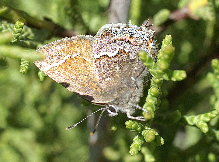 Thorne's hairstreak ( Callophrys gryneus thornei ), lays its eggs only on the scale-like leaves of the Tecate cypress.