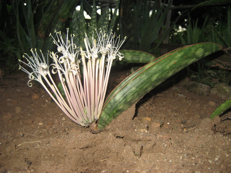 A flowering  Sansevieria hallii .