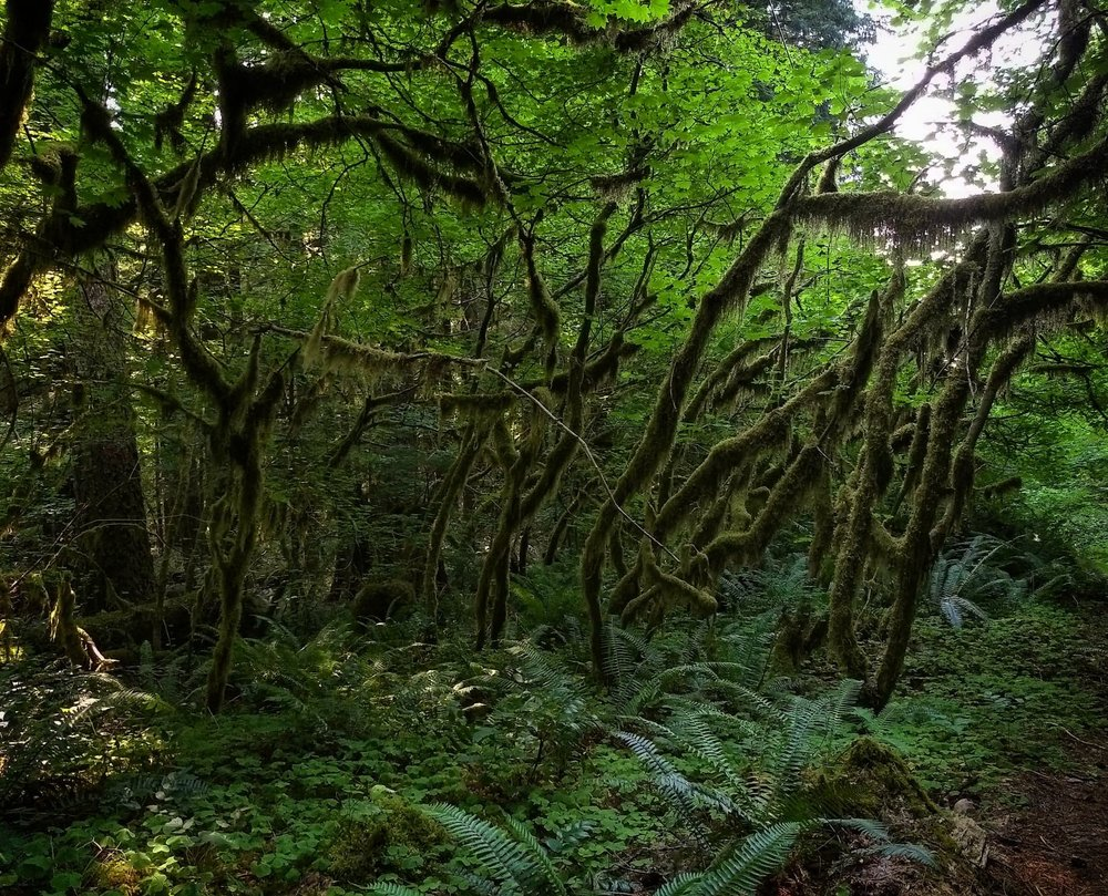 A subcanopy of vine maple ( Acer circinatum ) draped in epiphytes.