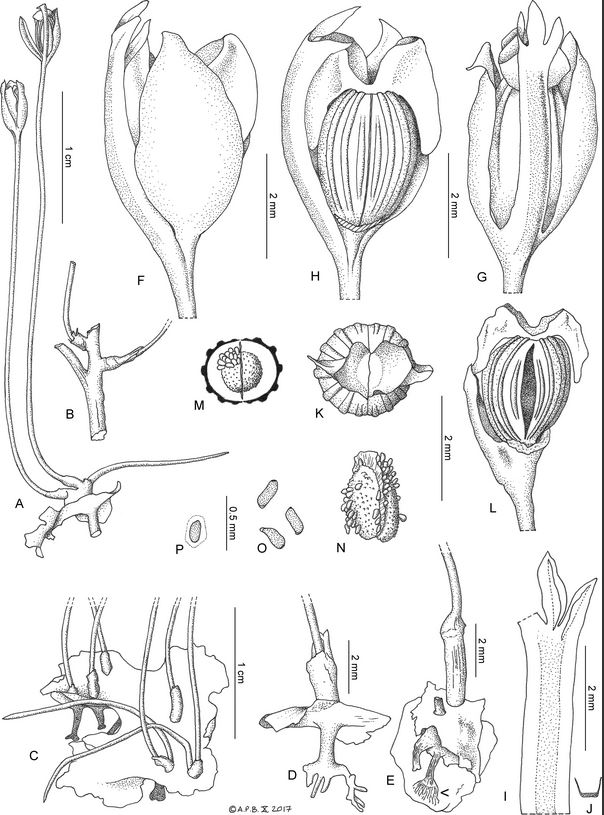 A. habit, whole plant, in fruit, showing the flat root, a pillar-like 'haptera', and a shoot with three inflorescences, B. detail of shoot with three branches, C. view of upper surface of a flattened root, with six short, erect shoots, each with 1–2 1-flowered inflorescences emerging from spathellum remains, D. side view of plant showing, on the lower surface of the flattened root, the pillar-like haptera, branched at base; upper surface of root with spathellum-sheathed inflorescence base, E. plant attached to rock by weft of thread-like root hairs (indicated with arrow) from base of pillar-like haptera; upper surface of flattened root with two shoots, F. side view of flower showing one of two tepals in full frontal view, G. as F. with tepal removed, exposing the gynoecium with, to left, the arched-over androecium, H. side view of flower with androecium in centre, two tepals flanking the gynoecium, I. androecium (leftmost of three anthers missing), J. transverse section of andropodium, K. view of gynoecium from above showing funneliform style-stigma base, L. fruit, dehisced, M. transverse section of bilocular fruit, showing septum and placentae, N. placentae with seeds, divided by septum, O. seeds, P. seed with mucilage outer layer. Drawn by Andrew Brown from  Lebbie  A2721  [SOURCE]
