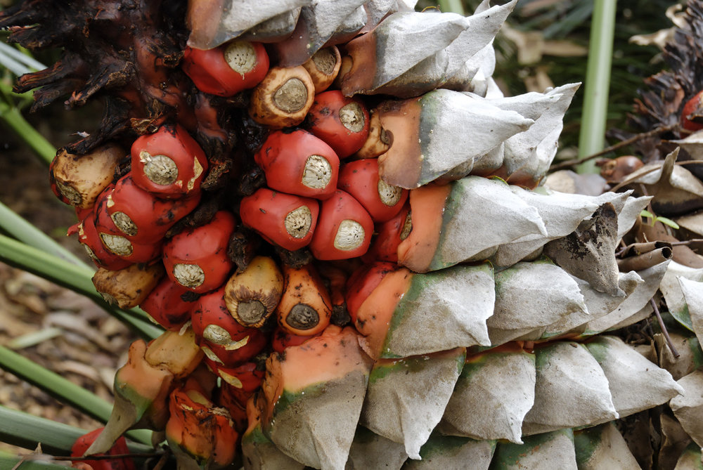 """Fruits"" contained within the female cone of a cycad ( Lepidozamia peroffskyana )."