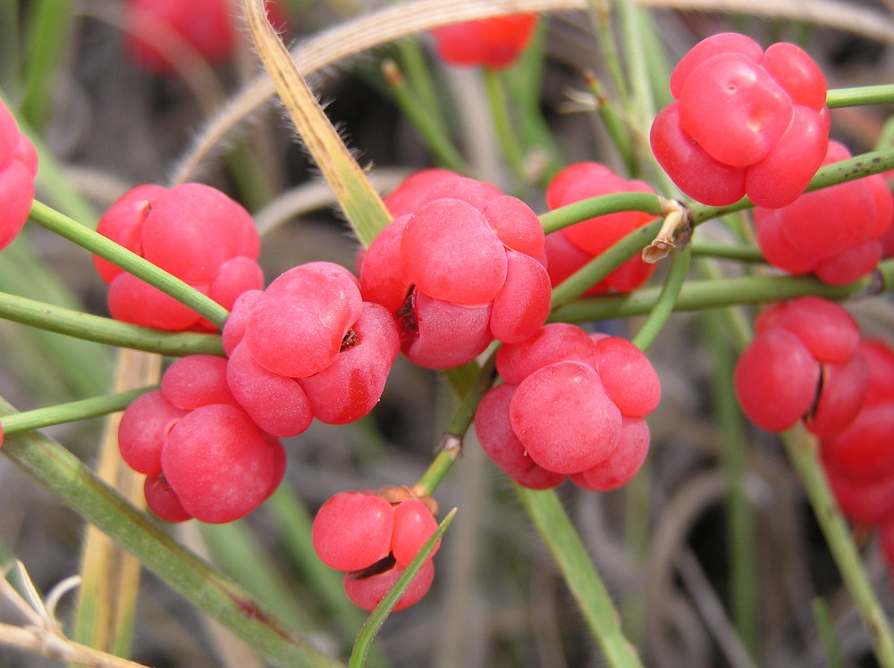 Red, fleshy bracts of  Ephedra distachya .