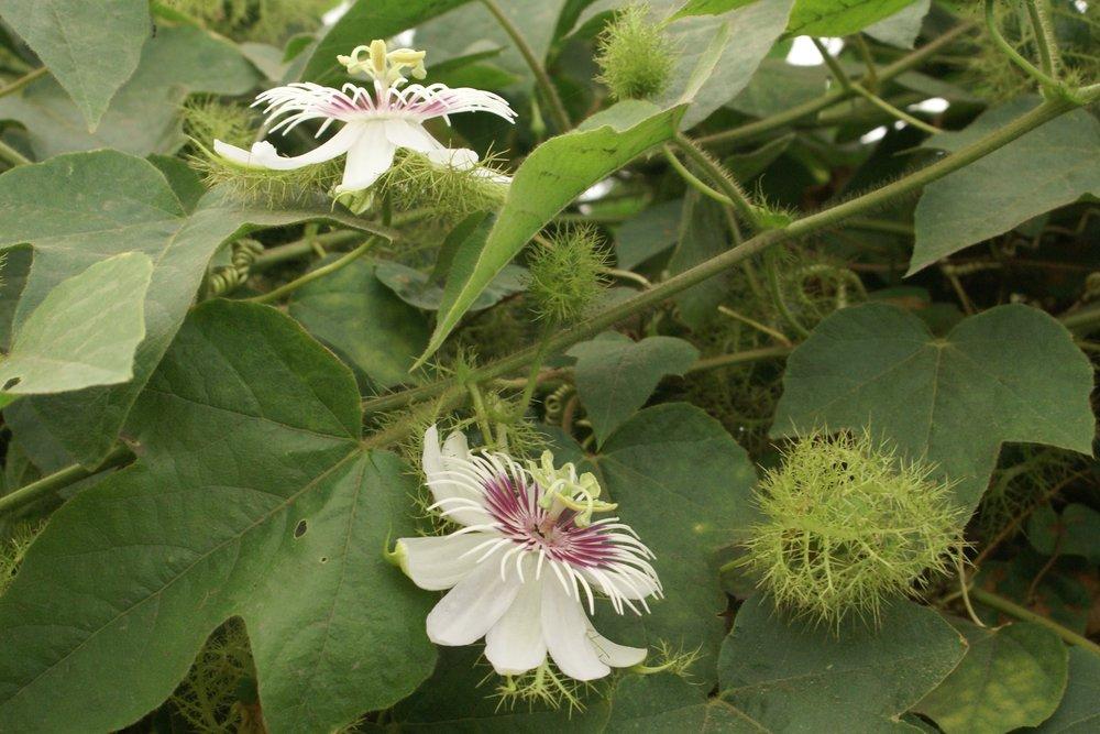 Passiflora_foetida_3.jpg