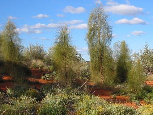 Allocasuarina decaisneana  (Desert Oaks), Central Australia