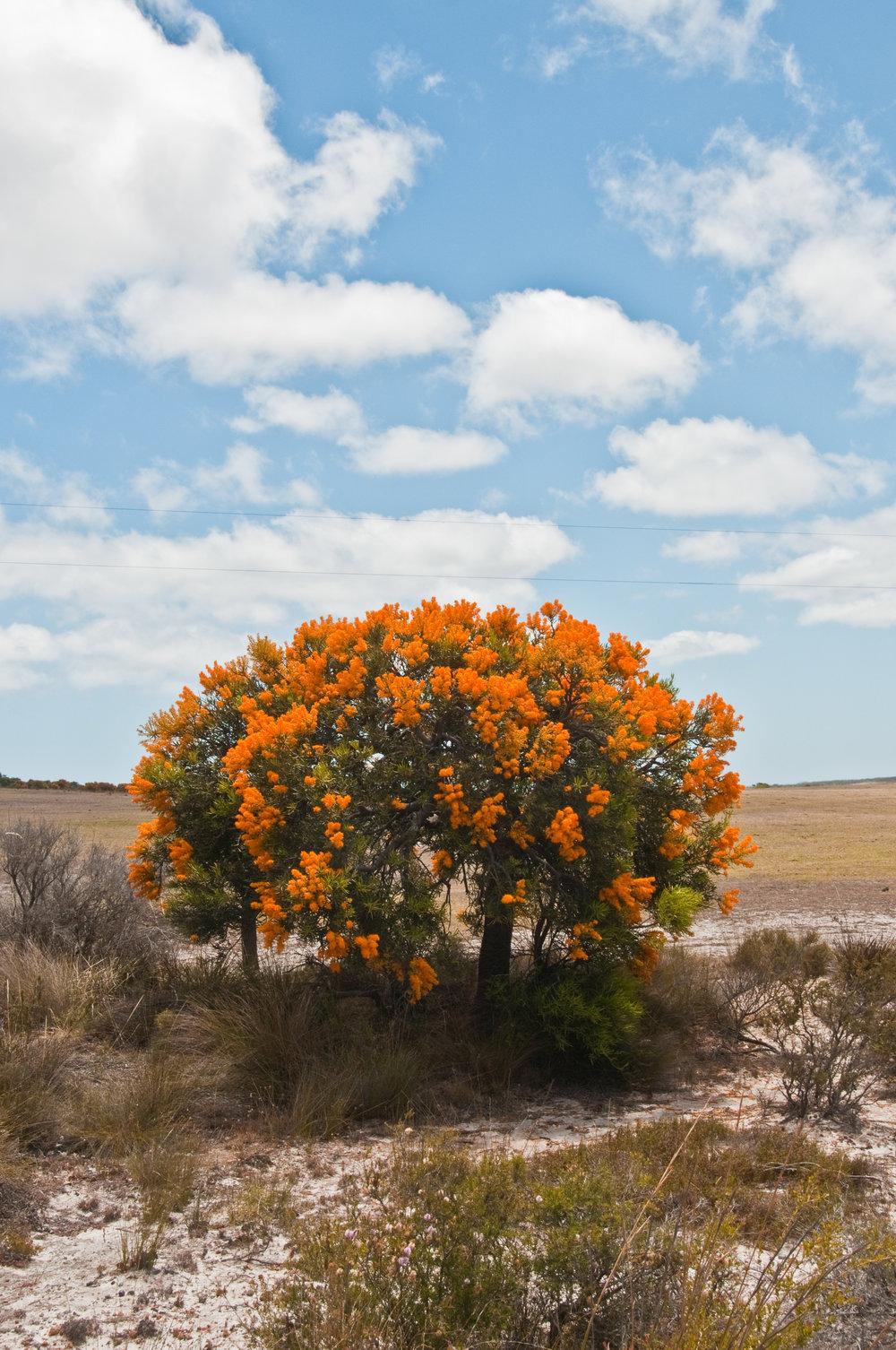 Nuytsia_floribunda_-_The_Australian_Mistletoe.jpg