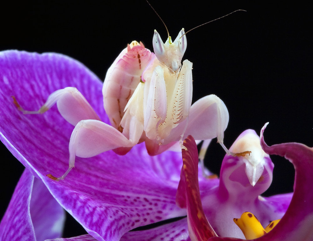Here we see a juvenile orchid mantis perched atop a man-made orchid cultivar that would not be found in the wild.