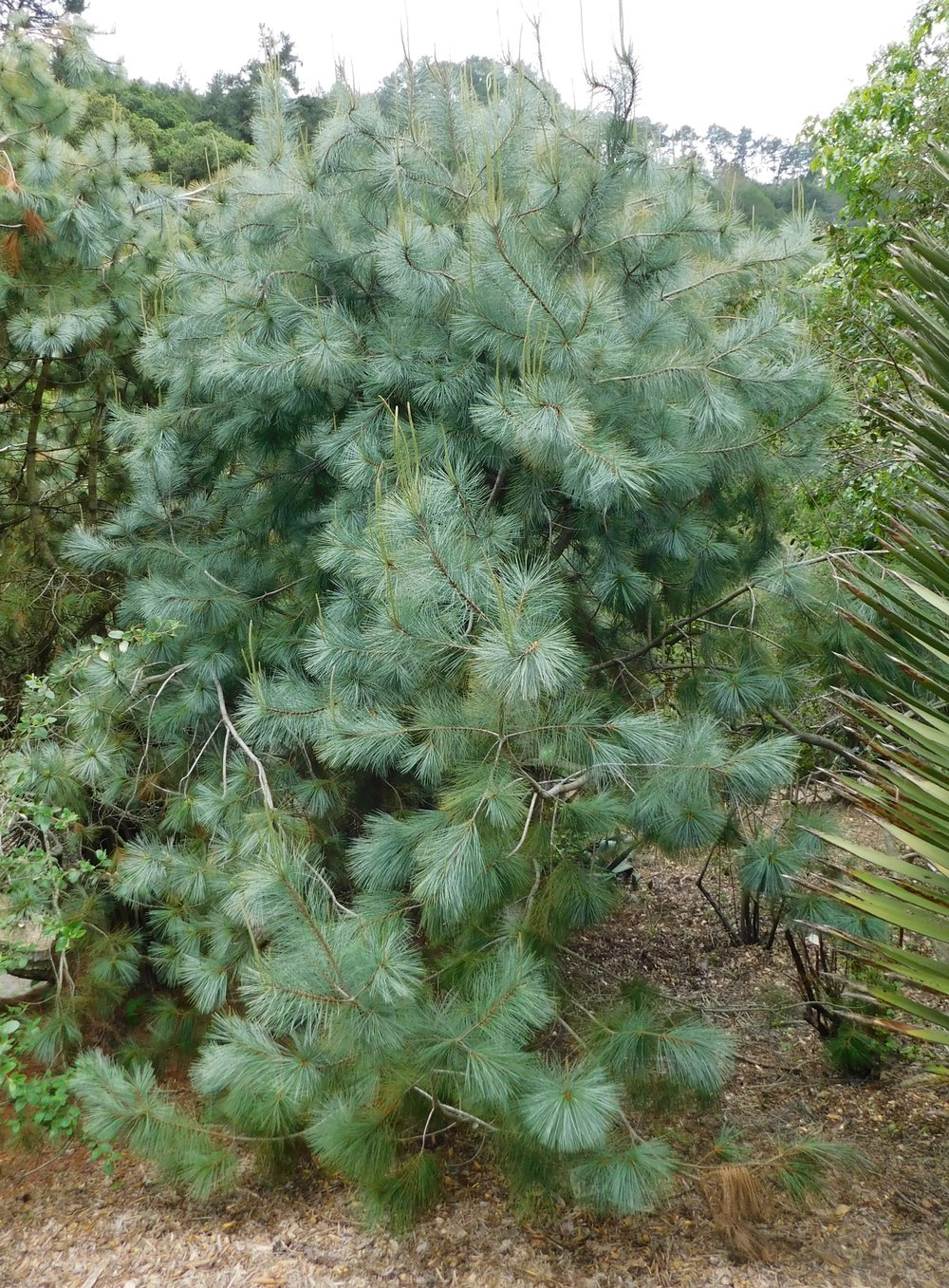 Pinus_maximartinezii.jpg