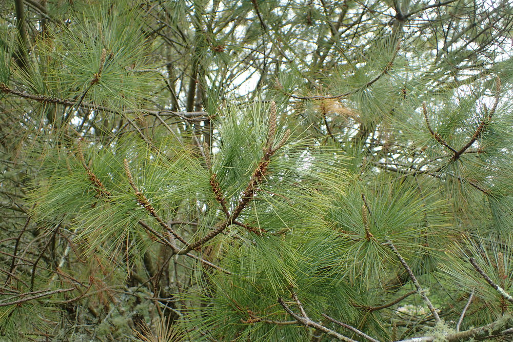 Pinus_maximartinezii_kz02.jpg
