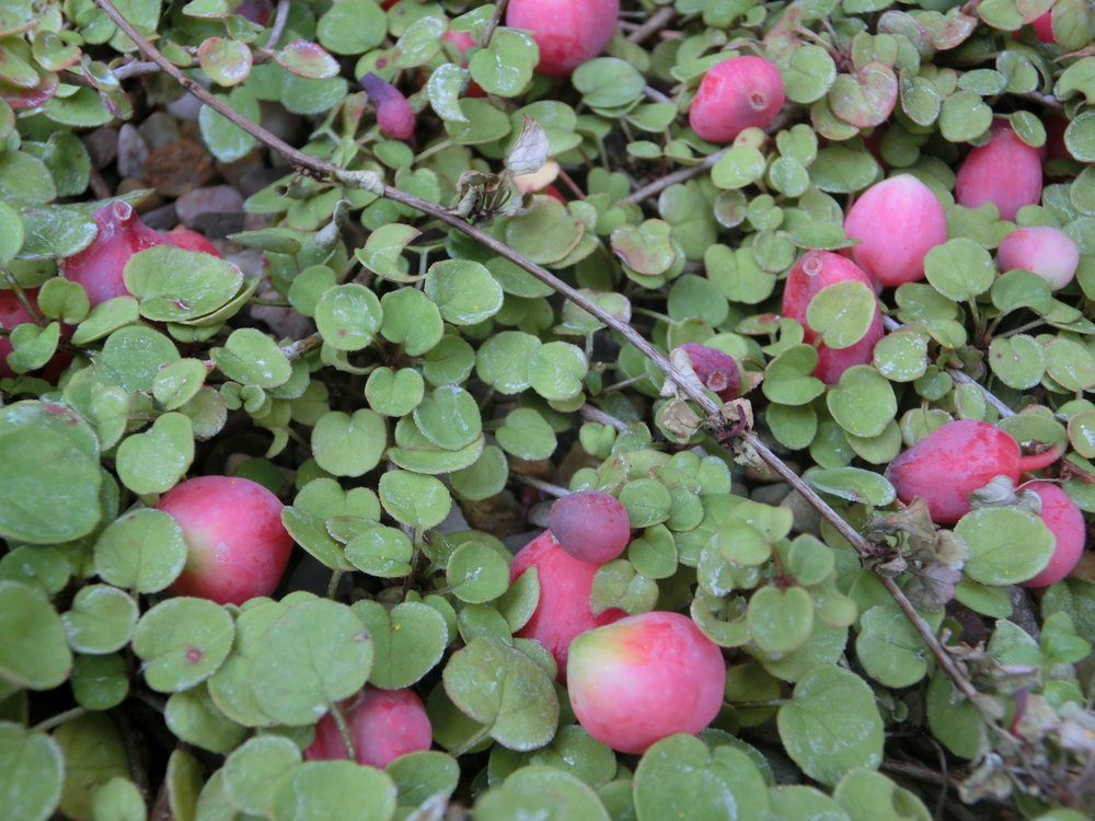 Fuchsia_procumbens_fruit.JPG