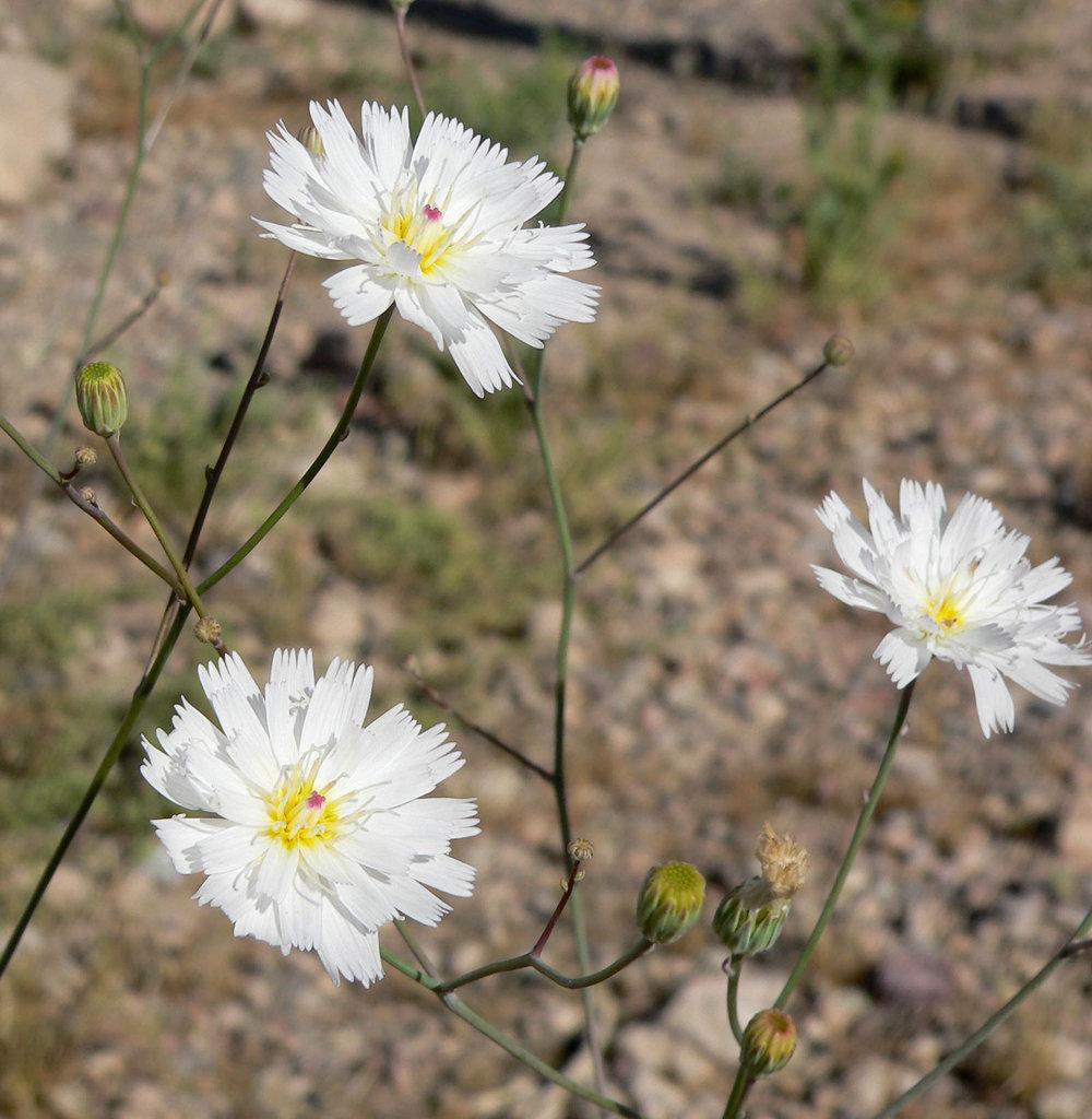 Atrichoseris_platyphylla_8.jpg