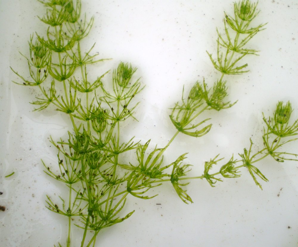 Chara braunii  - a modern day example of a streptophyte alga