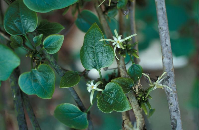 Flowers of  Adenia firingalavensis