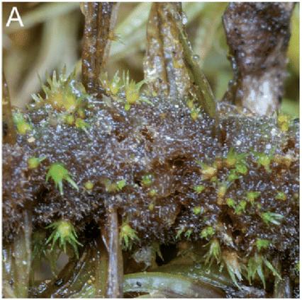 Dwarf males growing on the stem tomentum of  Dicranum polysetum