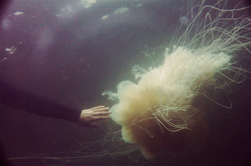 A lionsmane jellyfish around sitka