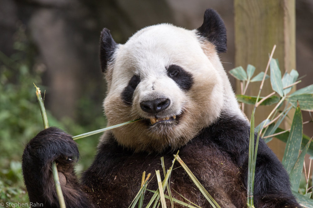 slay-the-pandas.jpg