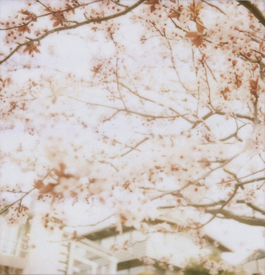 sweet sakura.jpg